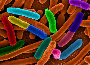 ecoli bacteria