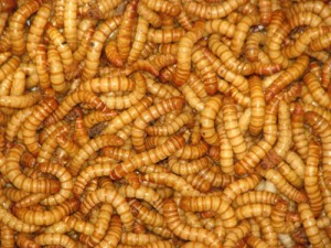 mealworms-replace-chicken-and-beef