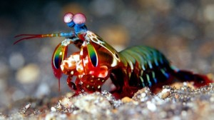 mantis-shrimp-hammer