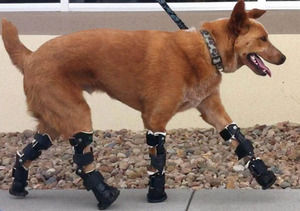 bionic-dog-walks-again